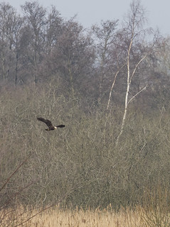 male marsh harrier 449-3170372