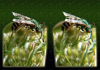 Agapostemon, Metallic Green Sweat Bee 7 - Cross-eye 3D
