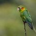 Wild Sulphur-winged Parakeet by Tim Melling
