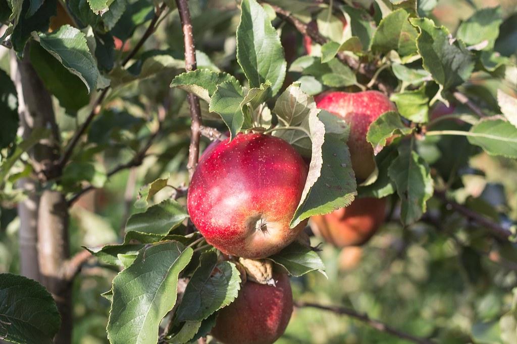 Æblemost (30)