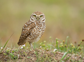 Burrowing Owl-Cape Coral, FL