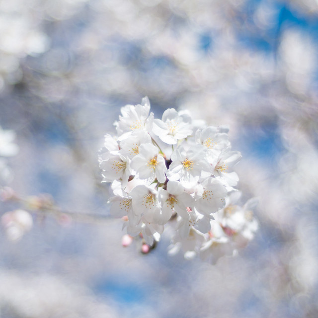 Sakura square - noktonic sky
