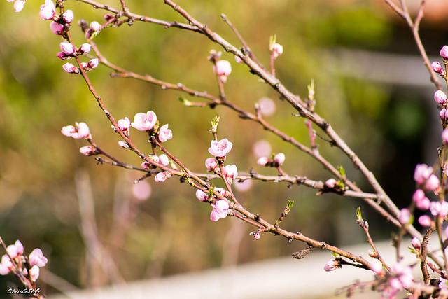 arbre en fleurs rose flickr photo sharing. Black Bedroom Furniture Sets. Home Design Ideas