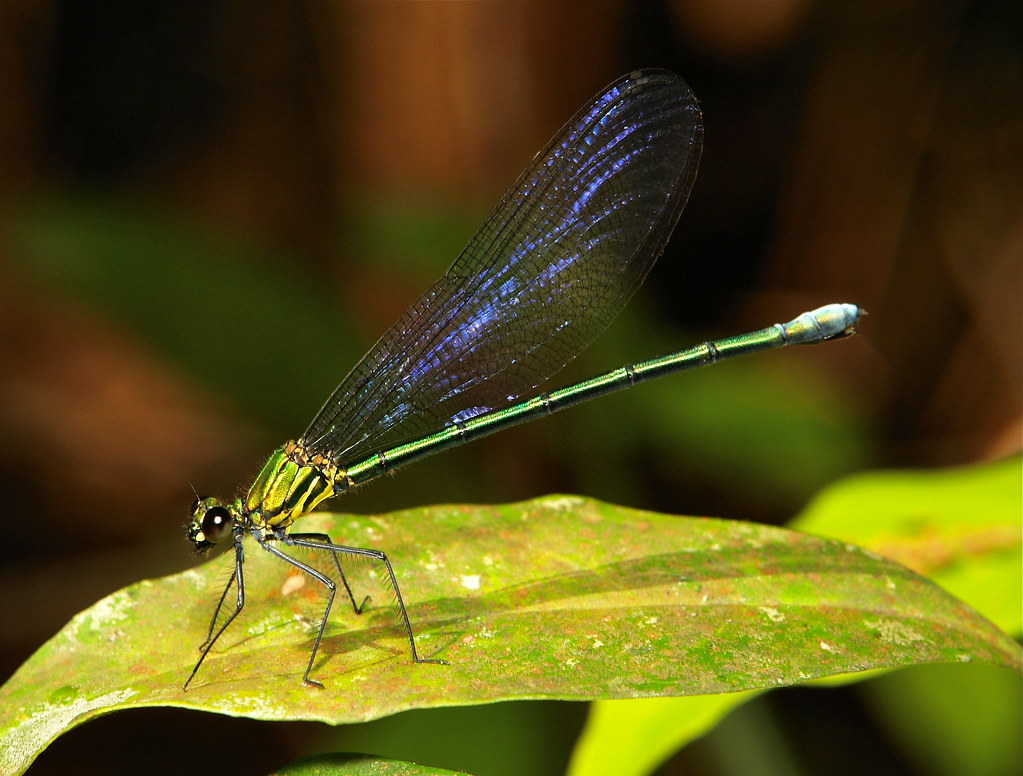 Anderson's Greenwing (Mnais andersoni, Calopterygidae), female