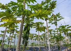 Harry_24080,木瓜,網室木瓜,木瓜園,水果,�…