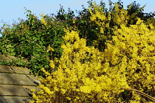 Forsythia and Ivy