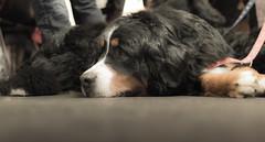 puppy(0.0), animal(1.0), dog(1.0), pet(1.0), mammal(1.0), bernese mountain dog(1.0),