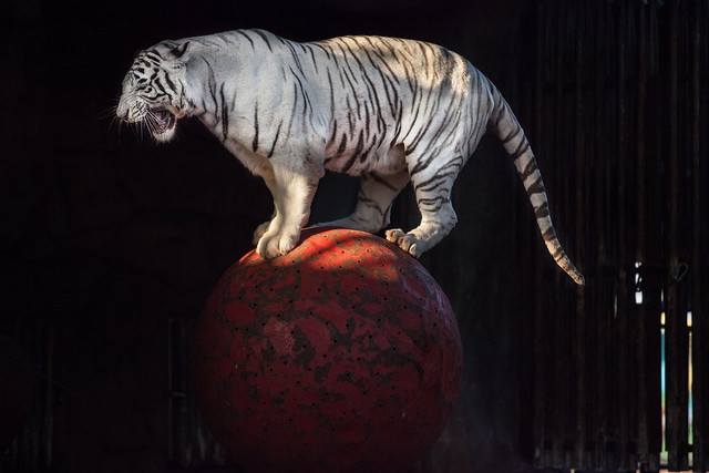 White Tiger performance, China