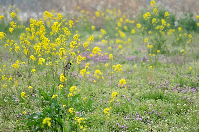 ナノハナとスズメ Rape blossoms and Tree Sparrow