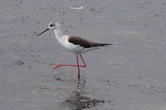 sandpiper(0.0), animal(1.0), charadriiformes(1.0), fauna(1.0), stilt(1.0), beak(1.0), bird(1.0), wildlife(1.0),