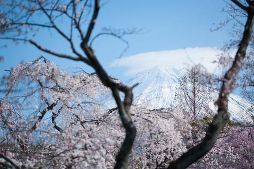 傘富士と桜と