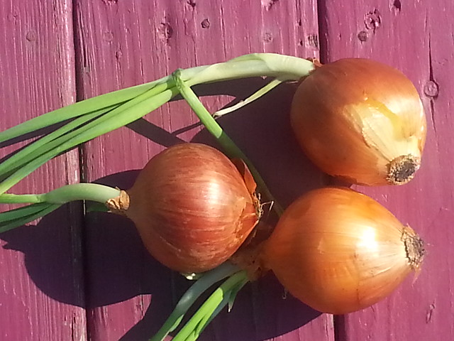 sprouted onions 2