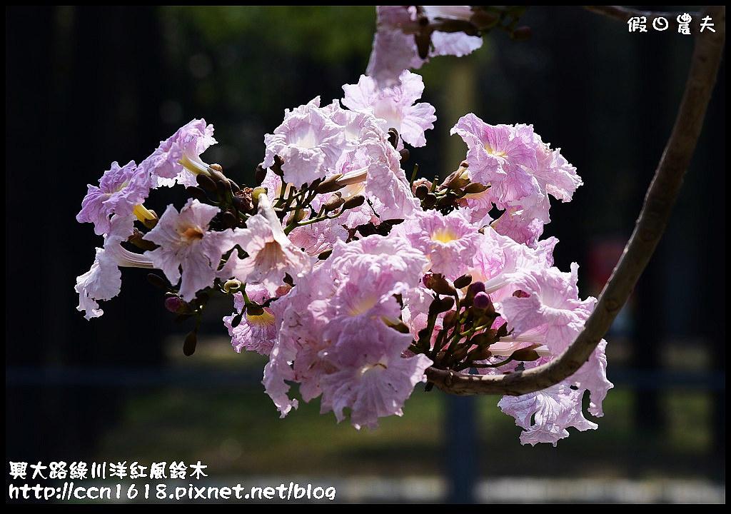興大路綠川洋紅風鈴木DSC_2270