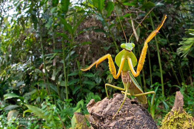 Hood mantis (Rhombodera valida) - DSC_6358