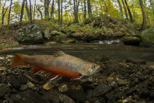 Southern Appalachian Brook Trout need the clean, cold water that healthy forests provide by limiting soil erosion into streams during heavy storms and providing a shading canopy in warmer months. (Copyright photo courtesy Freshwaters Illustrated/Dave Herasimtschuk)