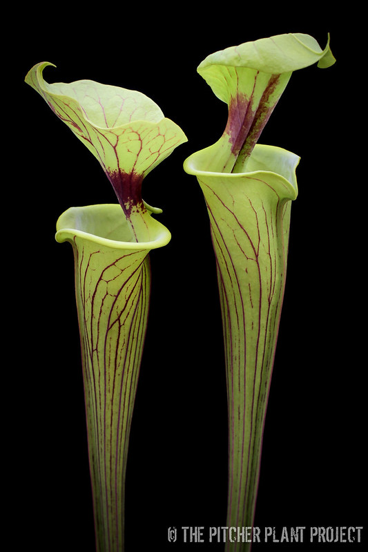 Sarracenia flava - Bulloch Co., GA
