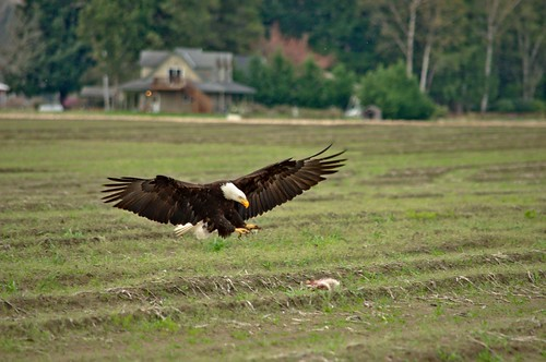 Bald Eagle Spreading His Wings