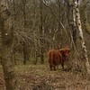 Wild woolly beasties in the woods / highland cattle out on the Peak District National Park / #cows #wolly #highlandcattle #outandabout #peakdistrict #woods