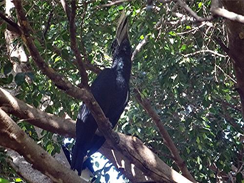 bycanistesbrevis naturguckerde silberwangenhornvogel 879702921 chorstschlüter 1549235199 ngidn1875686843