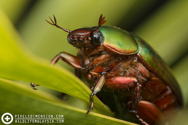Green Scarab Beetle- cf. Anomala sp.