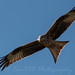 Red Kite by tamhughes806