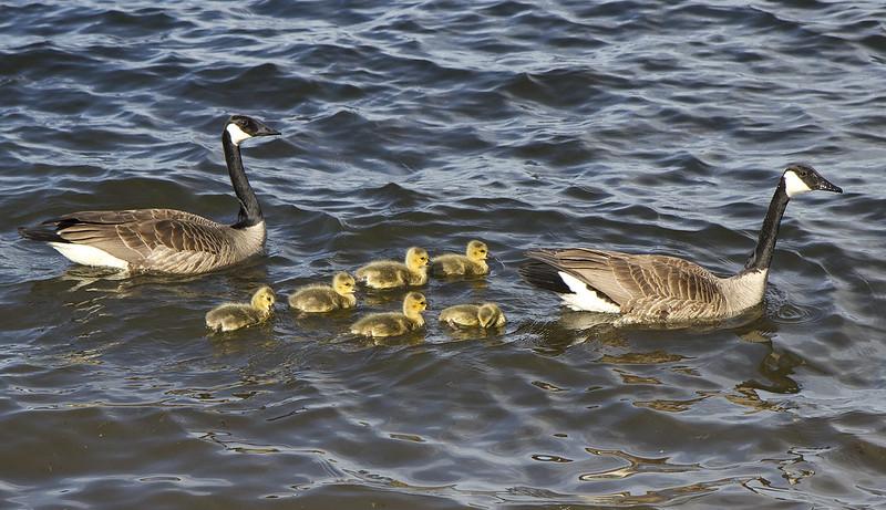 goose family5