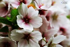 cherry blossom, Kirschblüten