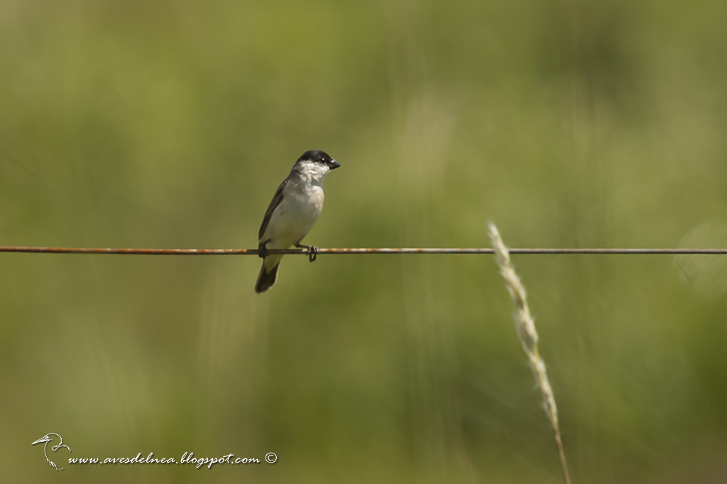 Capuchino boina negra (Pearly-bellied Seedeater) Sporophila pileata