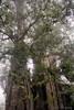 I'm tired -oldest tree in Alishan, Taiwan