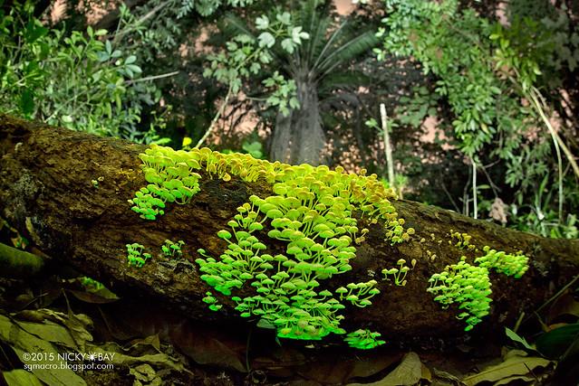 Bioluminescent fungi (Filoboletus manipularis) - DSC_6836
