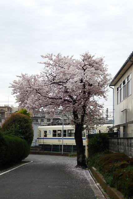 2015/04 叡山電車修学院車庫前の桜