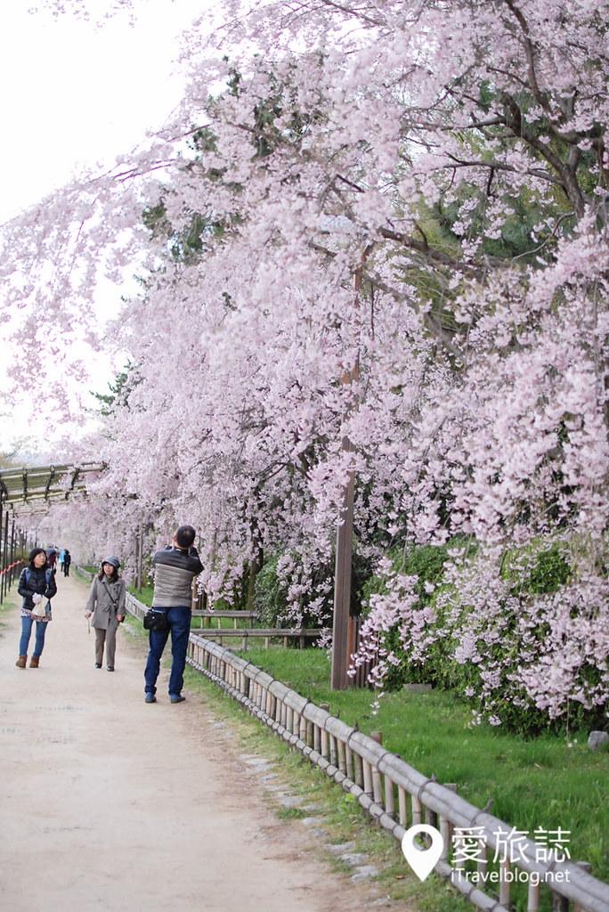 京都赏樱景点 半木之道 22