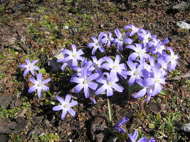 Chionodoxa luciliae, Tallinn BG
