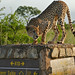 Small photo of Cheetah (Acinonyx jubatus) on a road marker