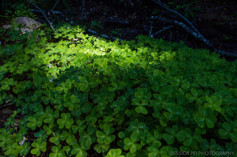 Clovers Pfeiffer Big Sur State Park California