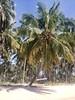 Palm trees - A Sunday walk in Praia De Carneiros, Brazil