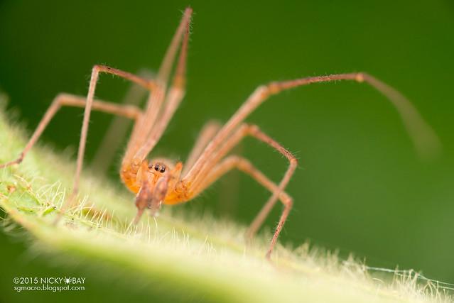 Long-legged sac spider (Miturgidae) - DSC_3565