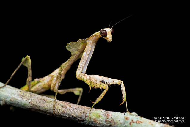 Dead leaf mantis (Deroplatys sp.) - DSC_3677