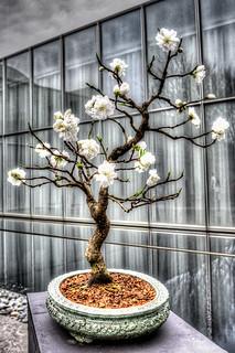 Peach Bonsai Tree