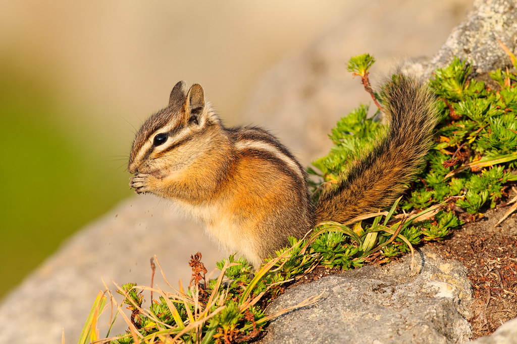 A Townsend's chipmunk eats in Mount Rainier National Park