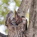 Couple Spotted owlet (Athene brama)