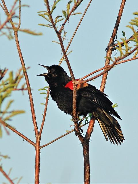 Red-winged Blackbird 20150401