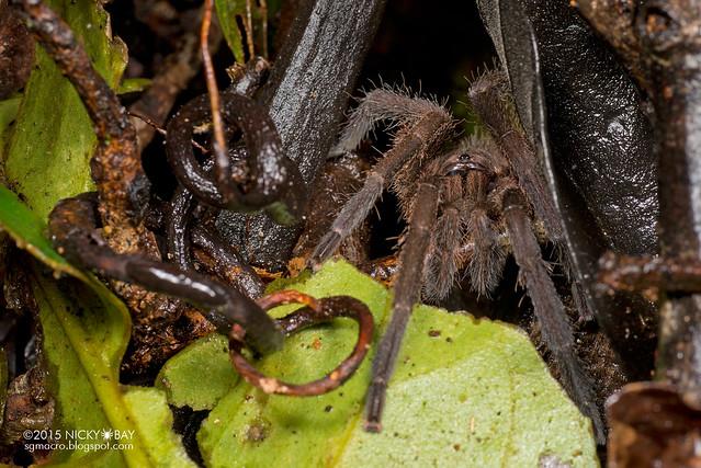 Tarantula (Theraphosidae) - DSC_2943