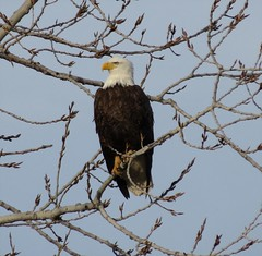 Bald Eagle/ Little Miami River, Morrow Ohio/3-16-2015