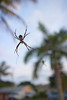 Spiders in the sky, with palm trees