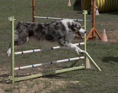dog sports(1.0), animal sports(1.0), dog(1.0), sports(1.0), pet(1.0), conformation show(1.0), dog agility(1.0),