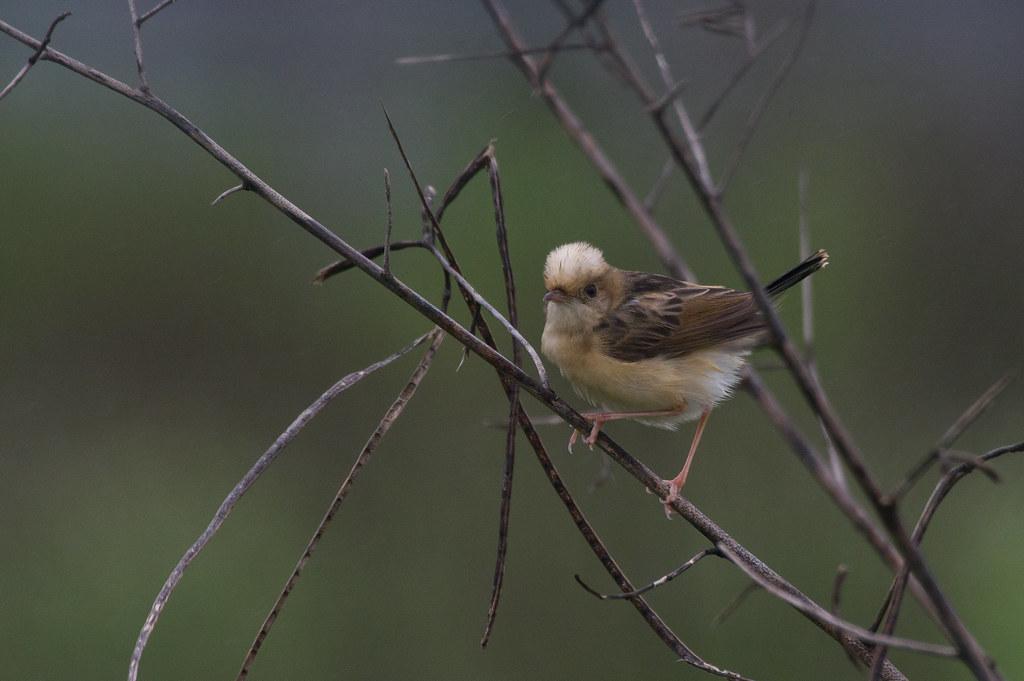 陰雨天遇見黃頭扇尾鶯