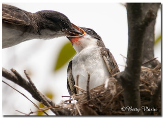 Eastern Kingbird & Baby Eastern Kingbird