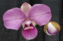Phragmipedium kovachii
