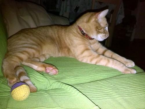 Danko, gato rubio mimosón, un caramelo nacido en Marzo´13 en adopción. Valencia. ADOPTADO. - Página 2 17006745232_1ae8dc634a
